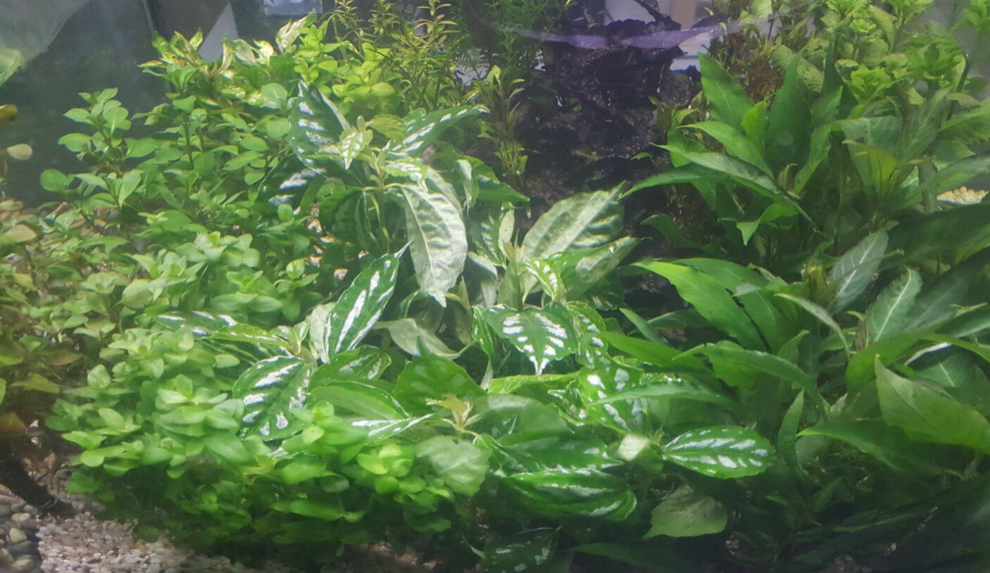 Aquatic Plants For Sale