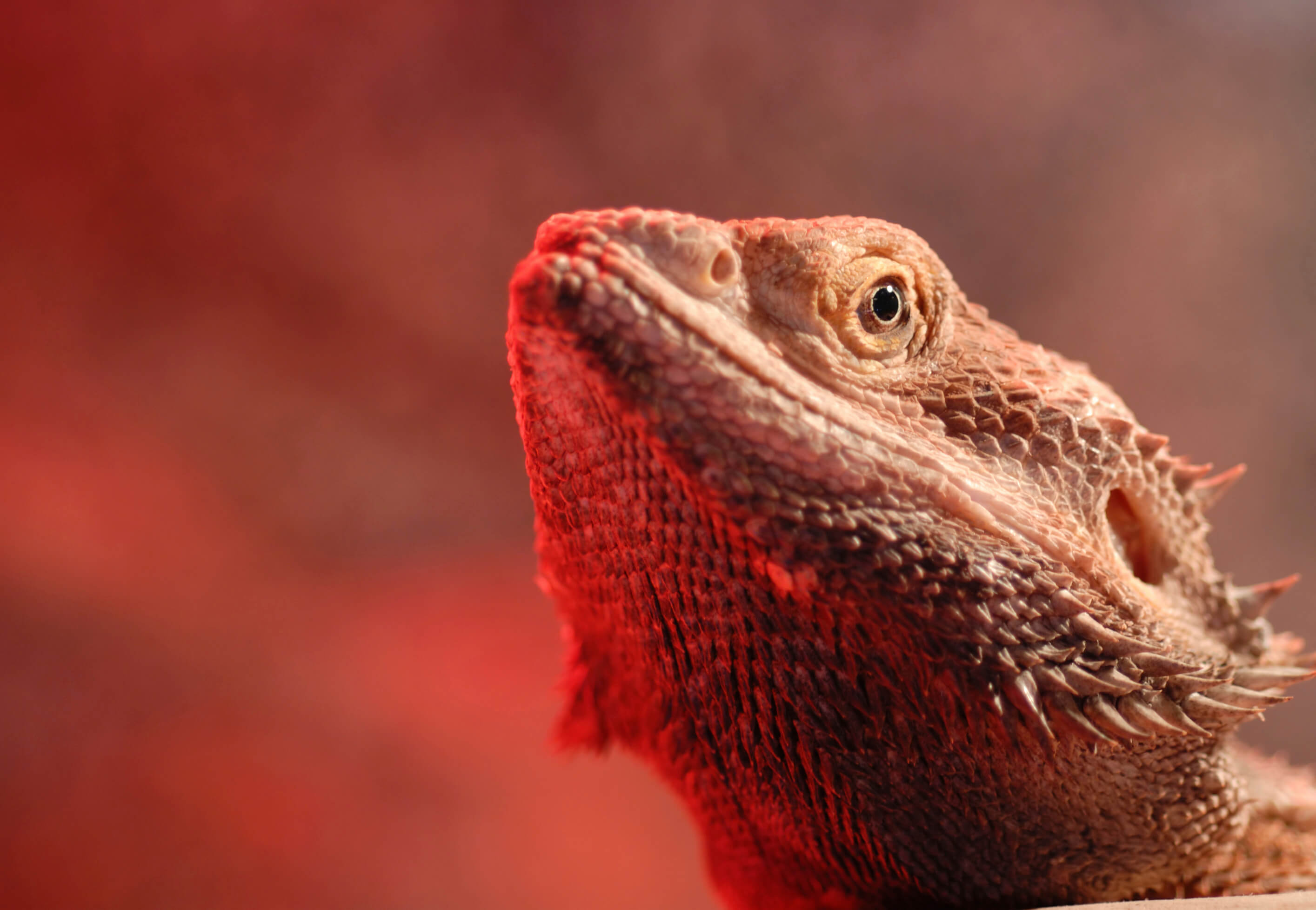 Bearded Dragon Melbourne