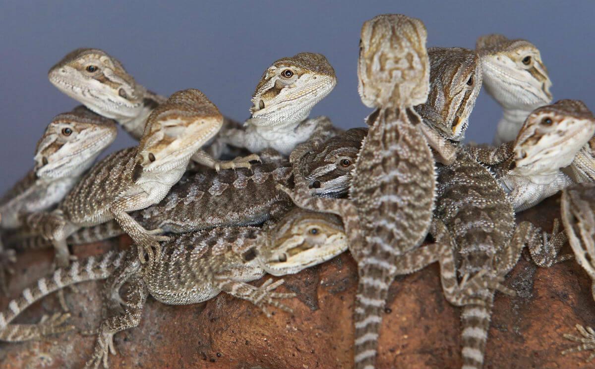 bearded lizard dragon - HD3072×1908