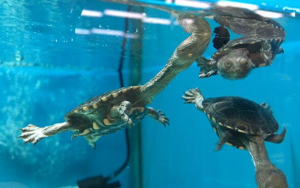 Baby Turtles Melbourne - Swimming Turtles