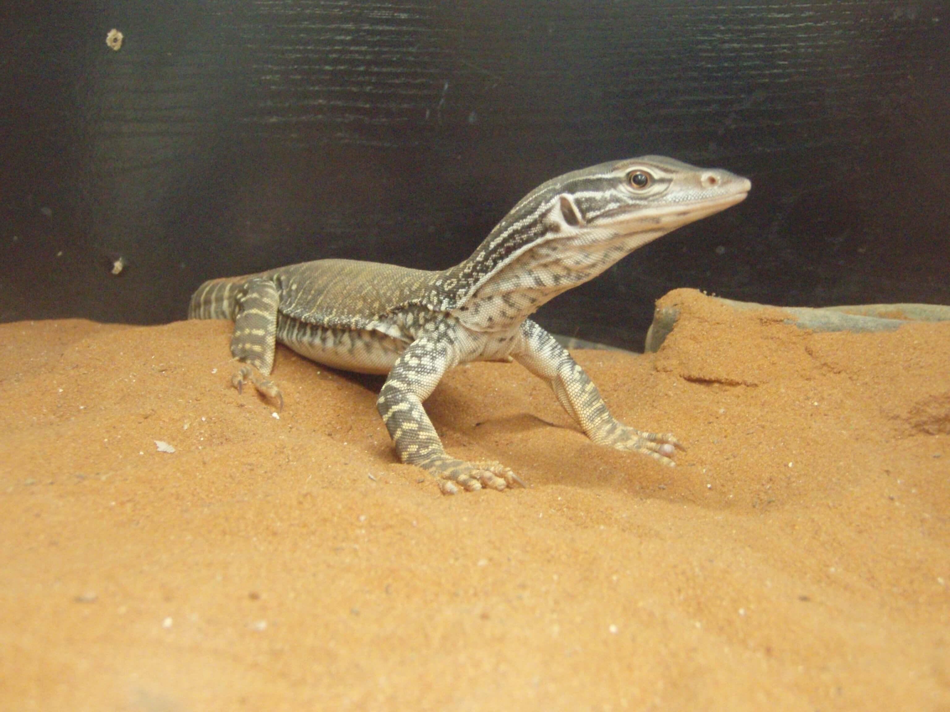 Sand Monitor Lizard Melbourne