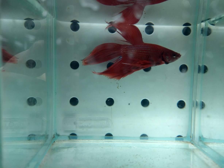 Betta Fish Tank Melbourne | Red Veil Tail