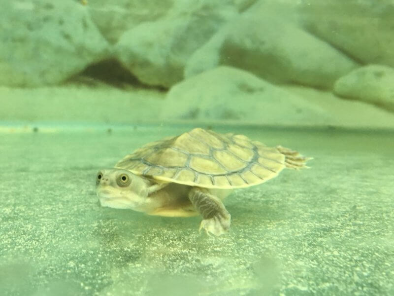 Birthday Gift Turtle | Swimming Turtle 2