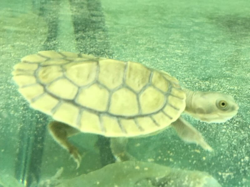 Birthday Gift Turtle | Swimming Turtle 1