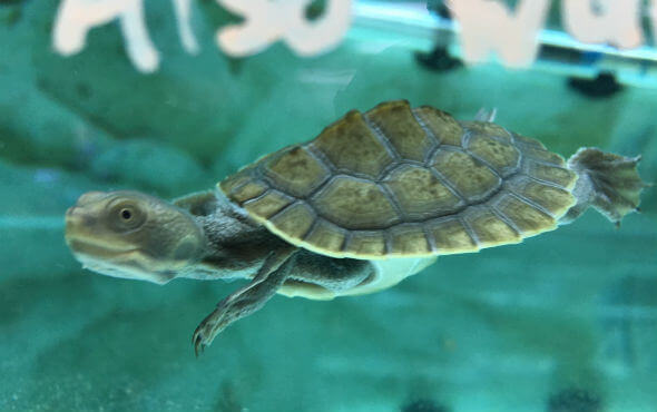 Baby Turtles For Sale - Swimming Turtle