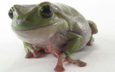 Just arrived some very CUTE Baby Green Tree Frogs